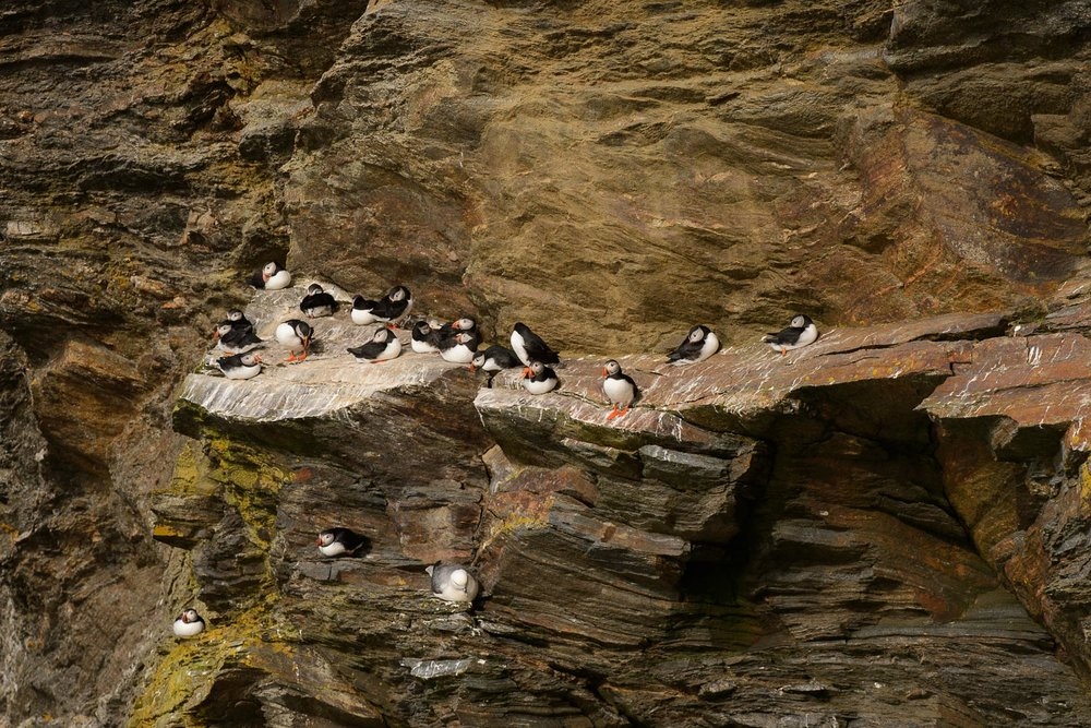 Puffins on Sea Cliffs