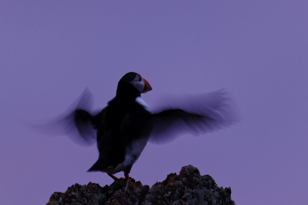 Twilight Puffin