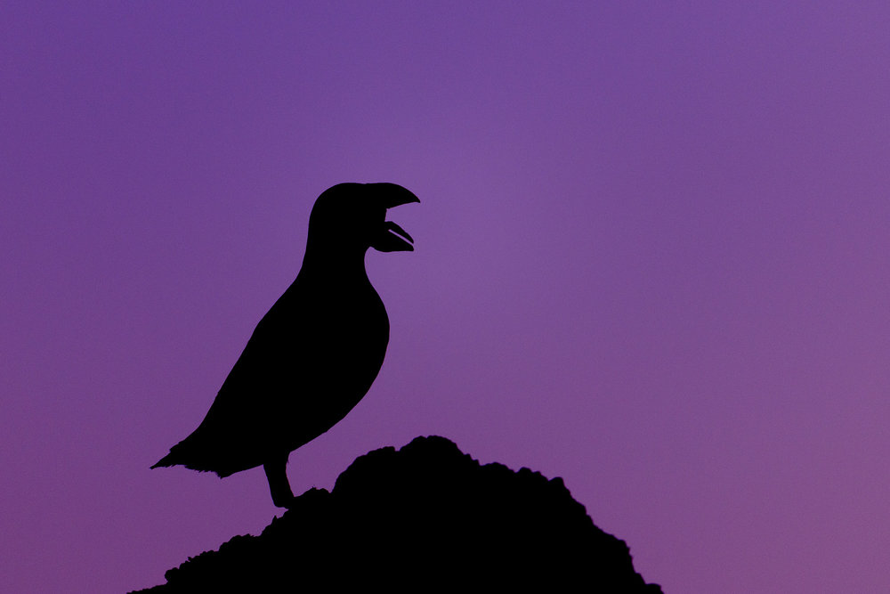 Puffin Silhouetted at Twilight