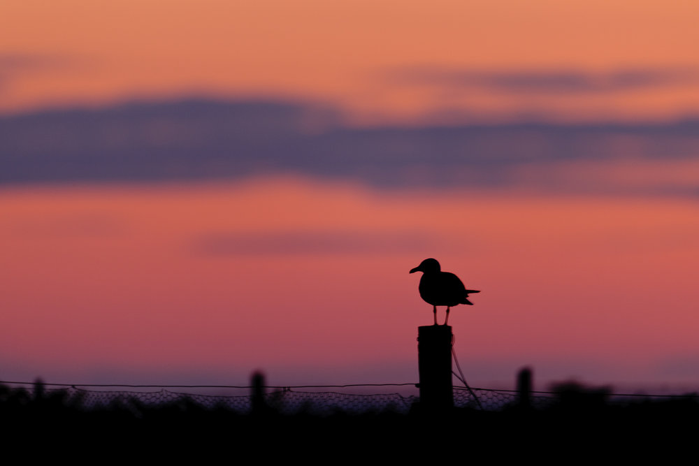 Herring Gull Silhouetted at Dusk