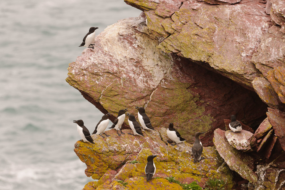 Guillemots and Razorbills