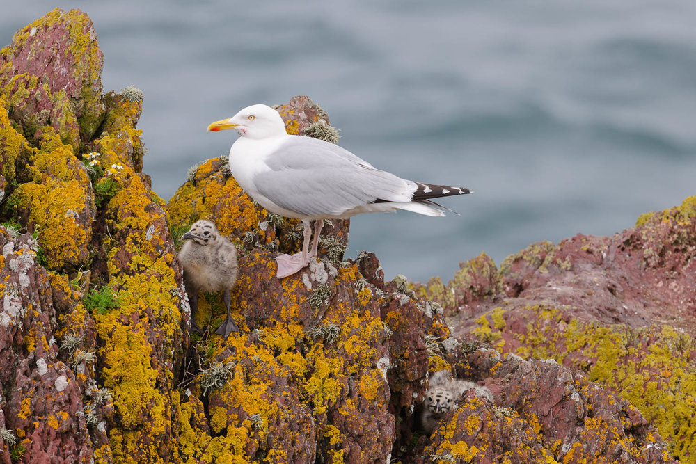 Herring Gull and Chick
