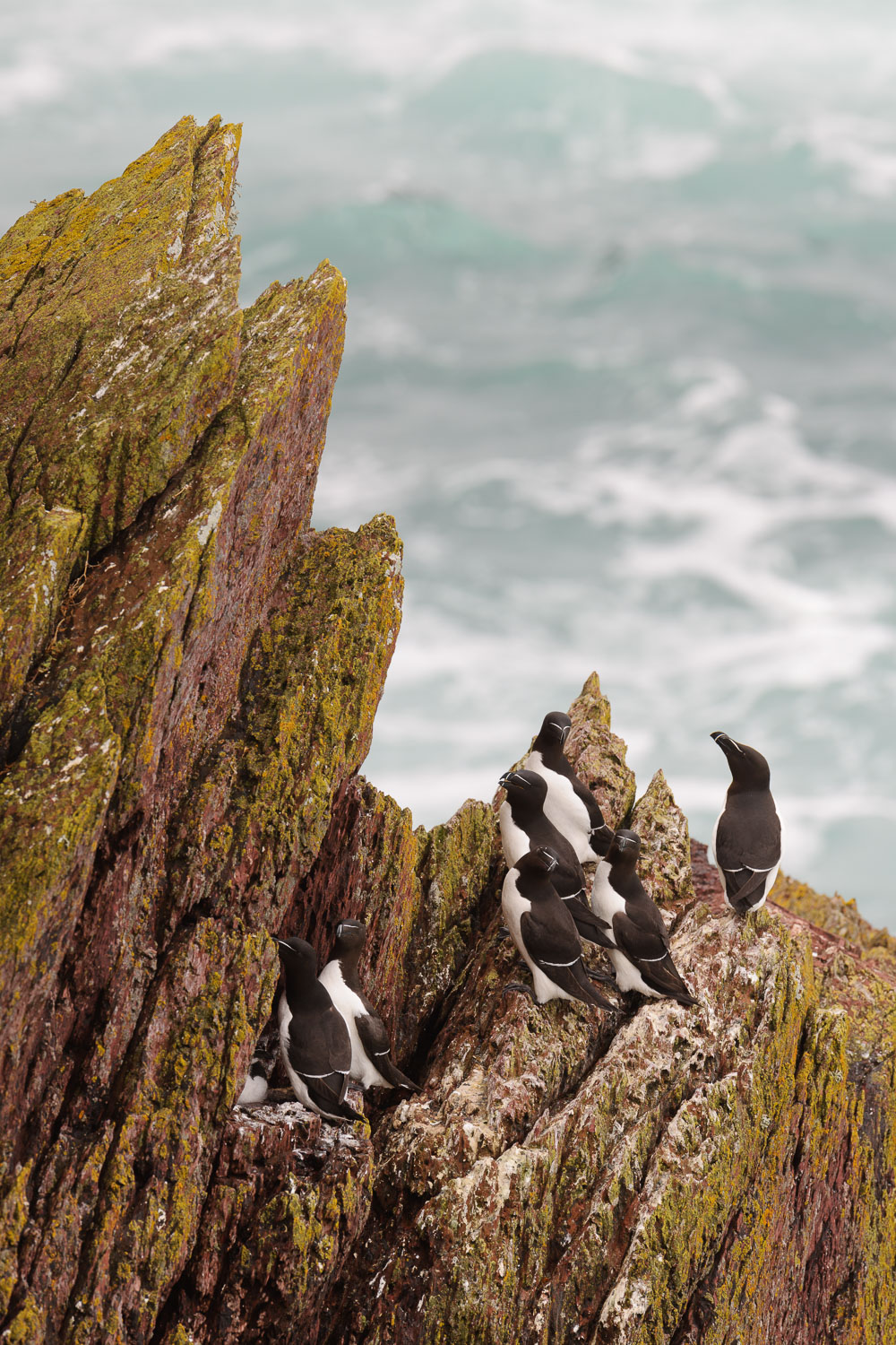 Razorbills Nesting on Sea Cliffs