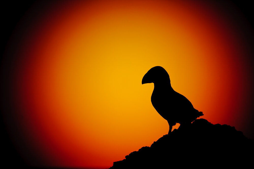 Puffin Silhouetted Against the Setting Sun