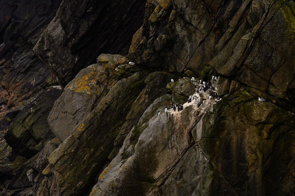 Guillemots and Kittiwakes