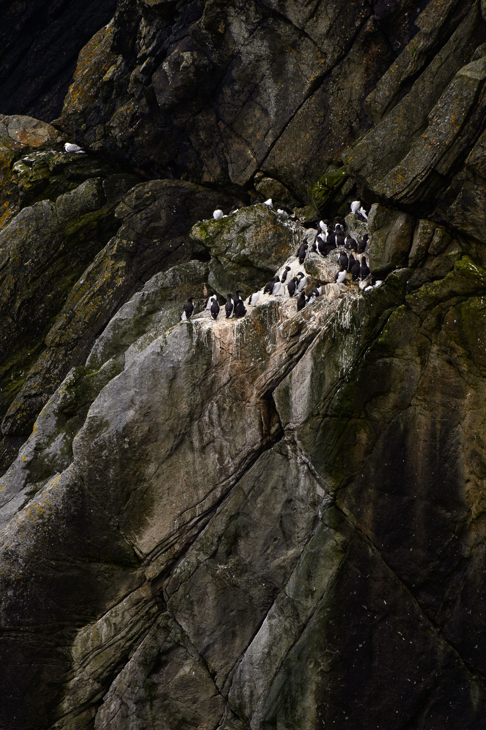 Guillemots and Kittiwake