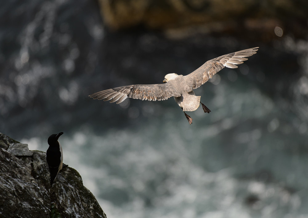 Fulmar and Razorbill