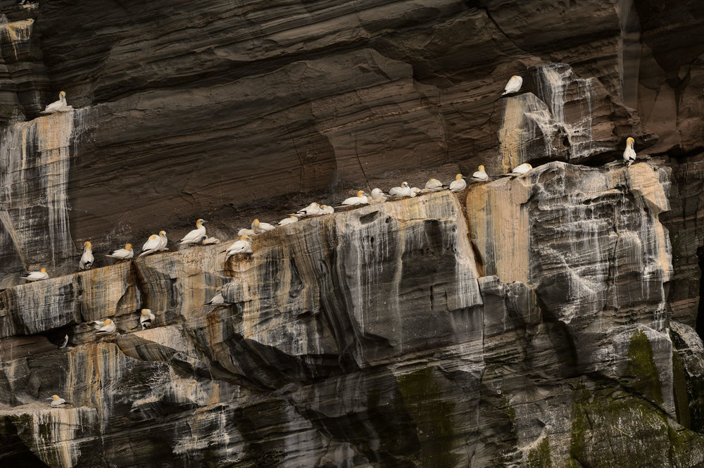 Northern Gannets Nesting on a Rocky Ledge