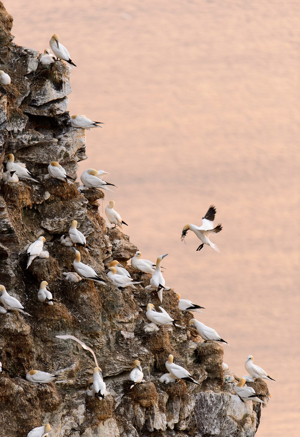 Northern Gannets at Troup Head