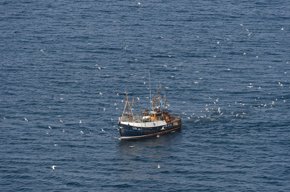 Northern Gannets Following a Fishing Boat