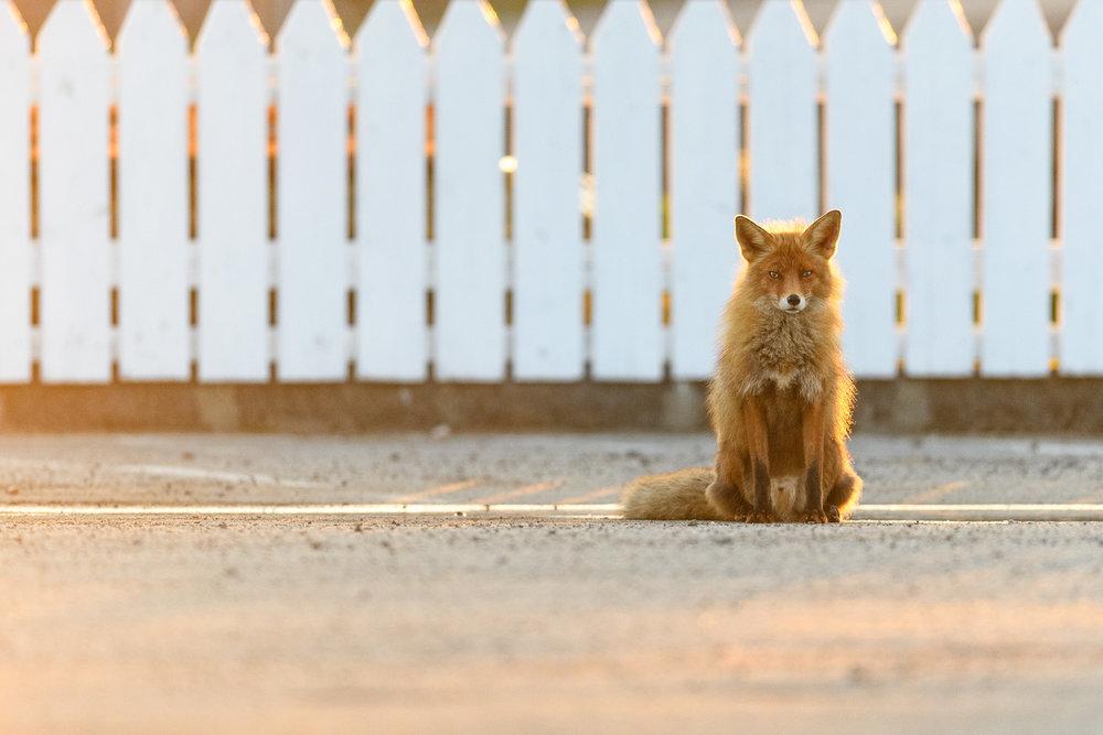 Midnight Sun Fox