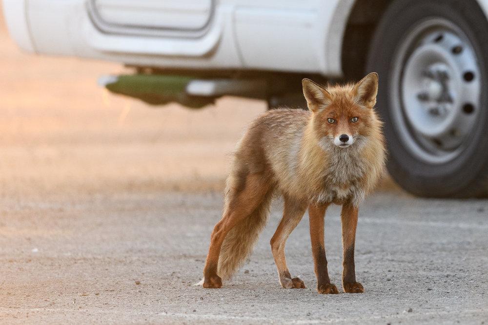 Trailer Park Fox