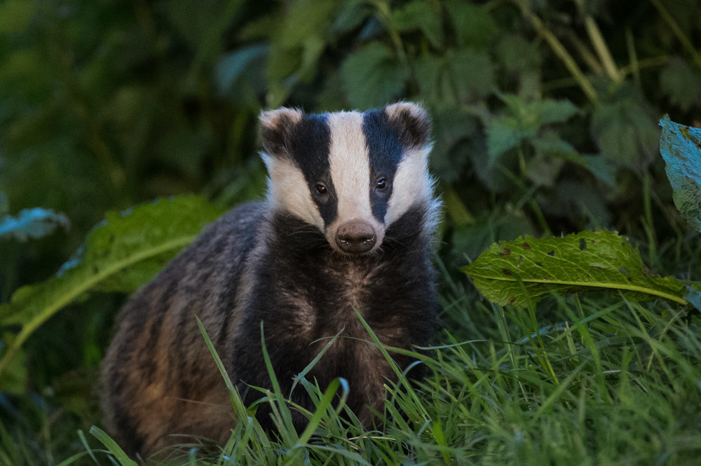 Badger in Dock Leaves