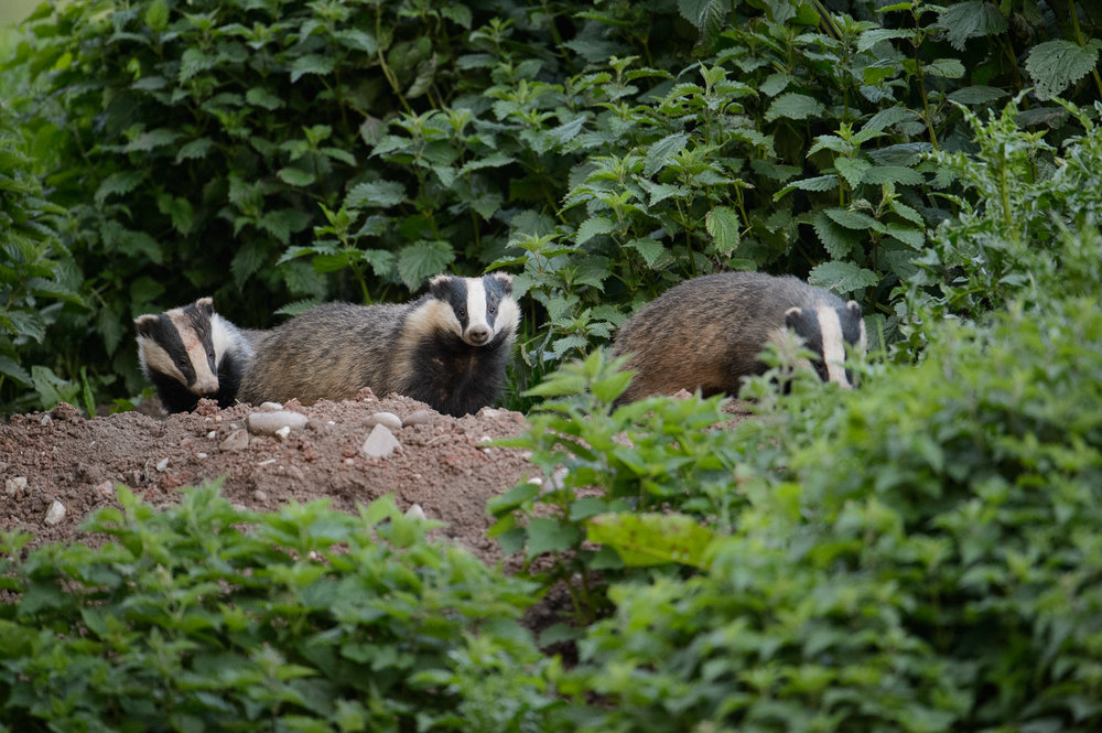Three Badgers