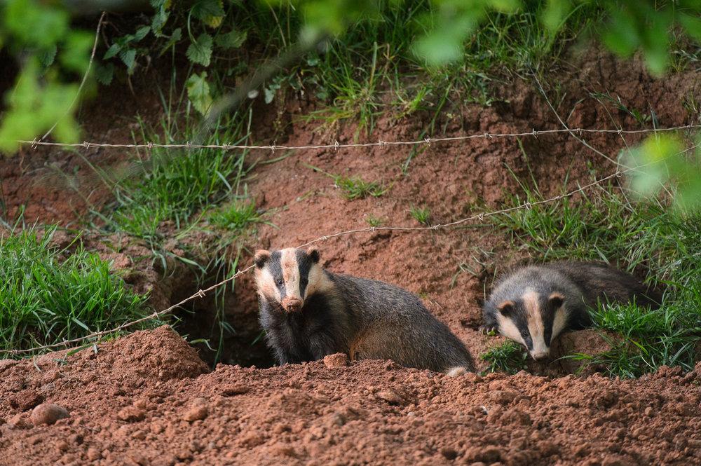 Badger by Sett