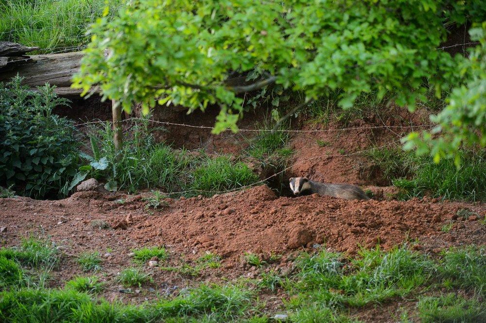 Badger Sett