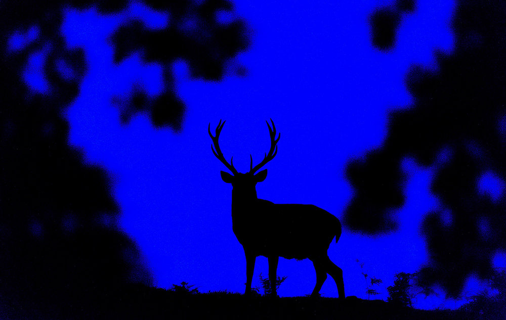 Blue Hour Stag