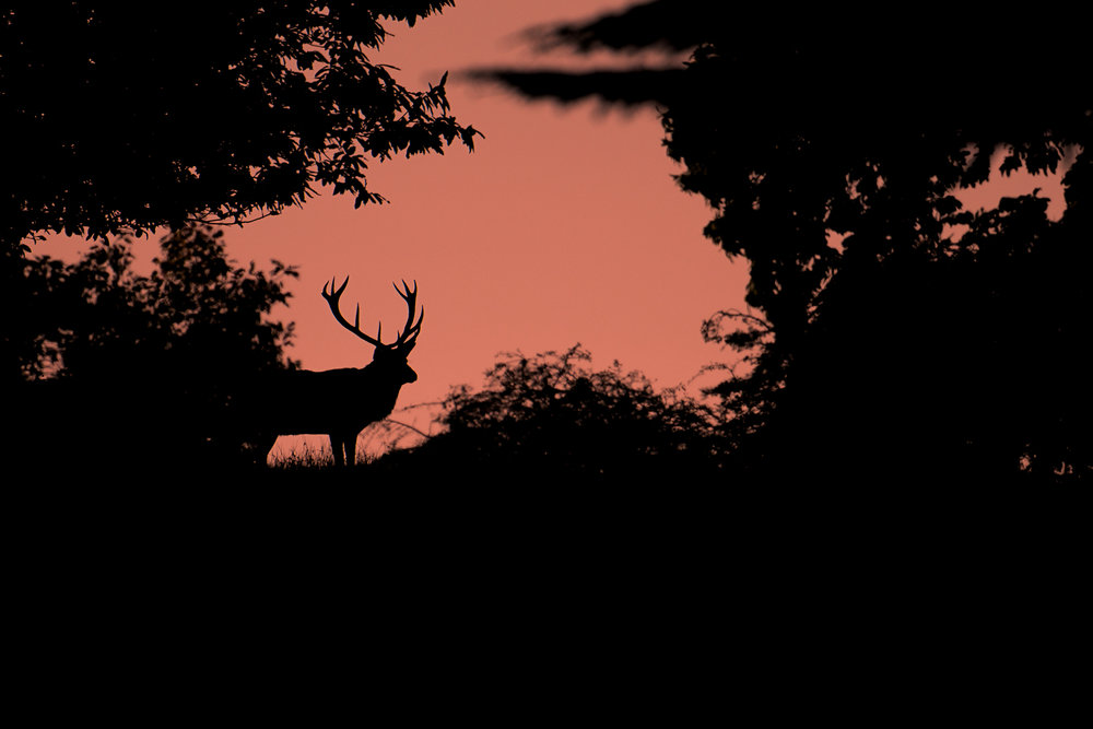 Red Dawn Stag