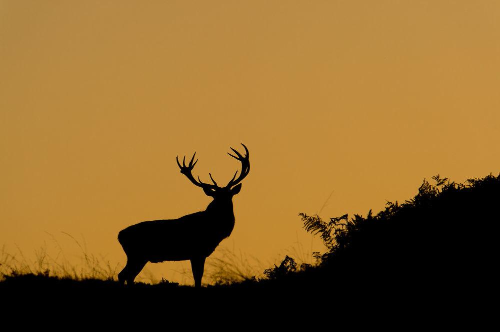 Red Deer Stag at Dusk