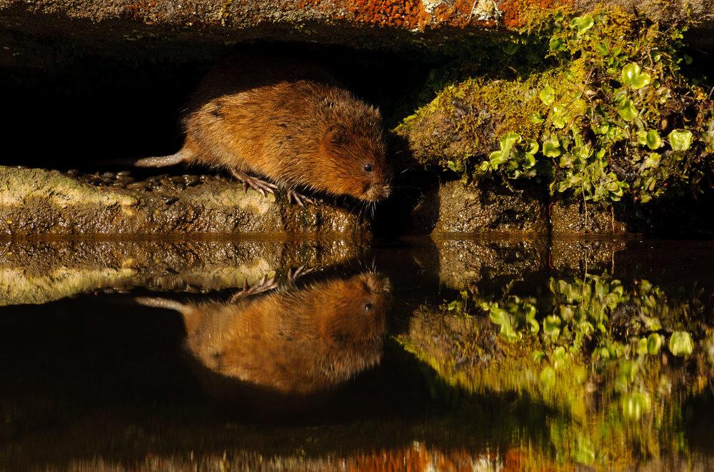 Water Vole Reflection