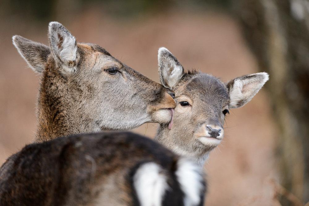 Fallow Deer Doe and Fawn