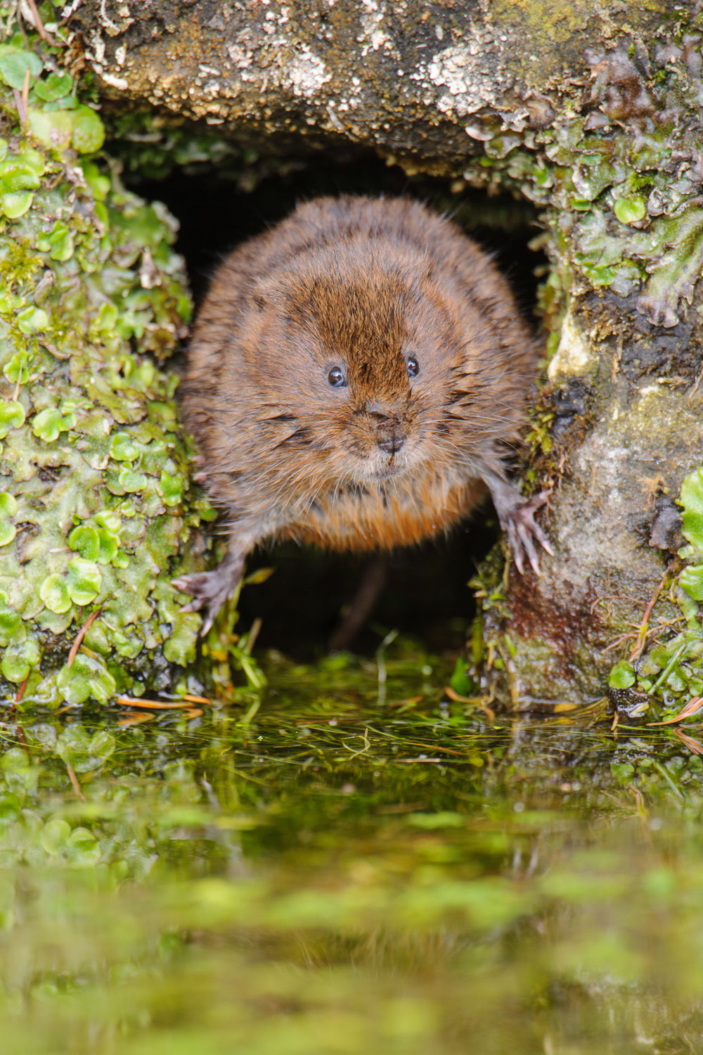 Water Vole in a Hole