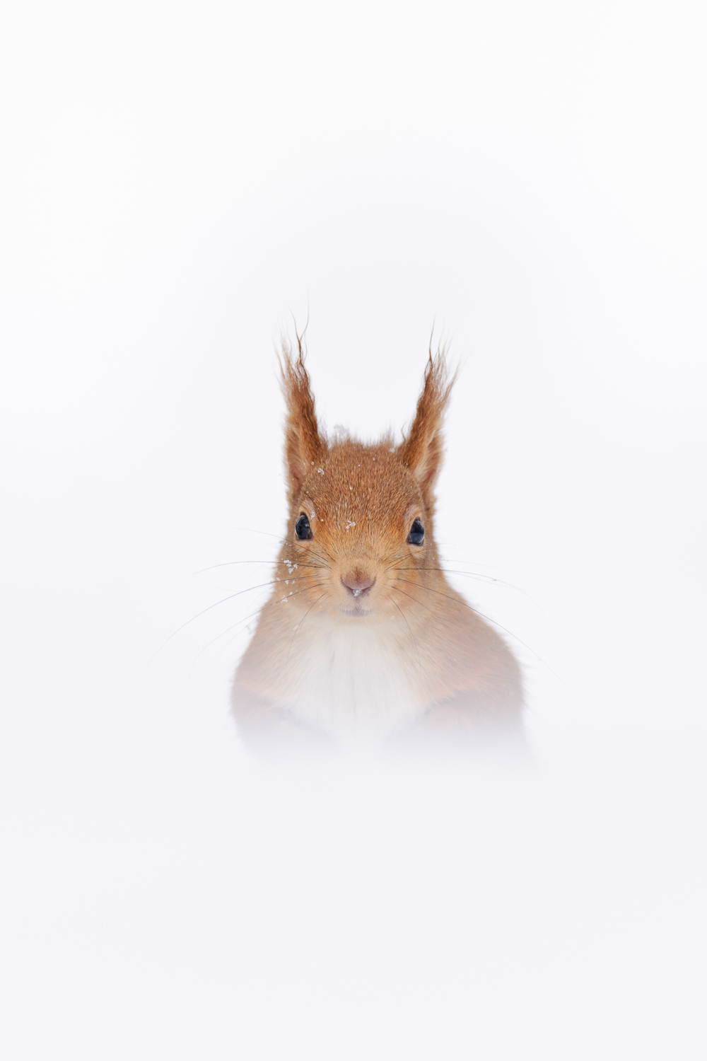 Copy of Red Squirrel in Snow