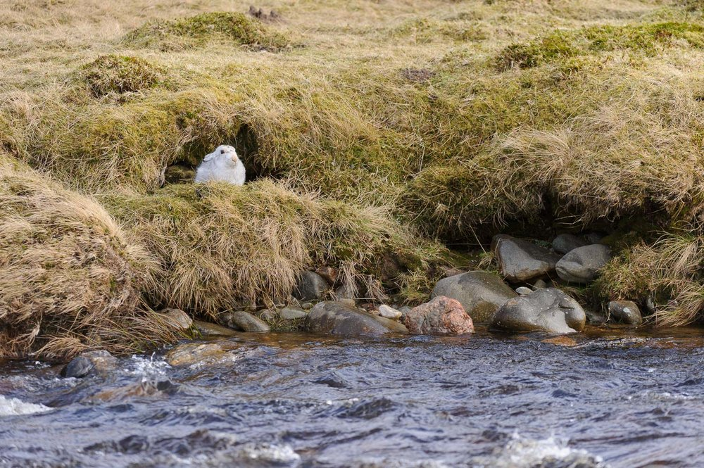Mountain Hare by Stream