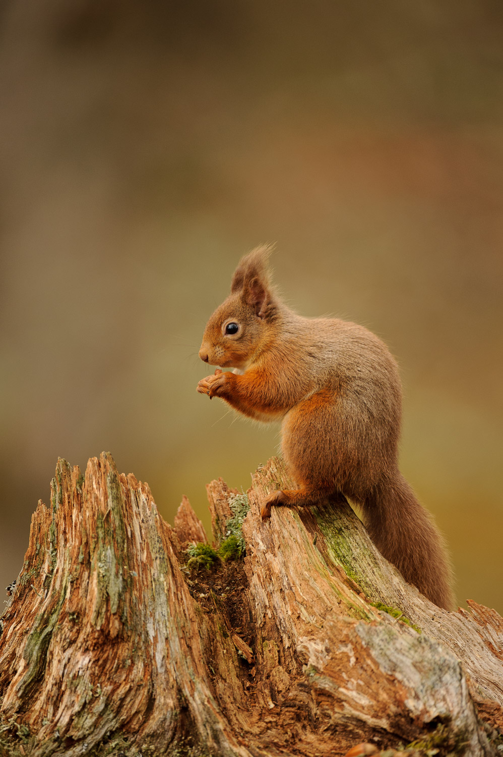 Red Squirrel on a Dead Tree Stump