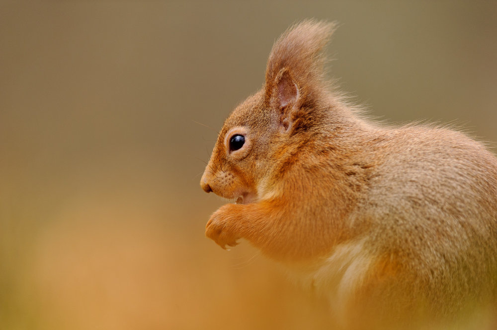 Red Squirrel Close-Up