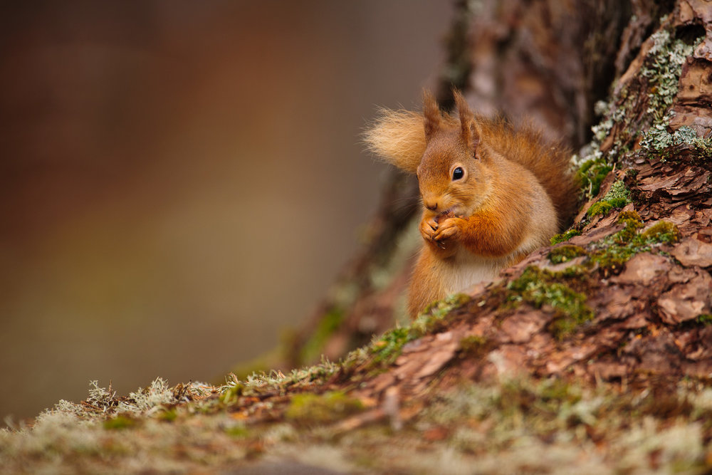 Red Squirrel in the Caledonian Forest