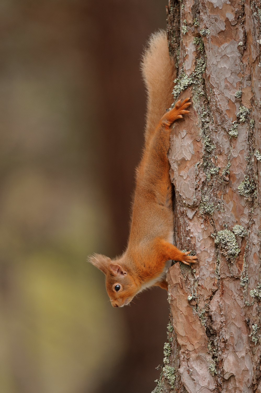 Red Squirrel on a Scots Pine