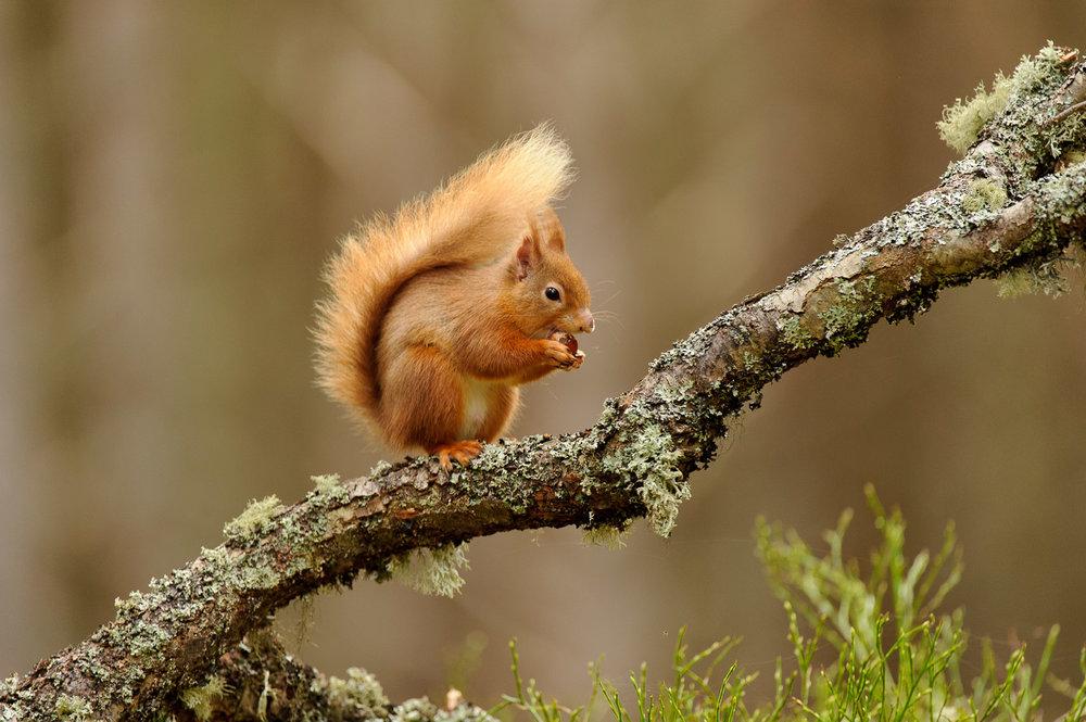 Red Squirrel on a Fallen Branch