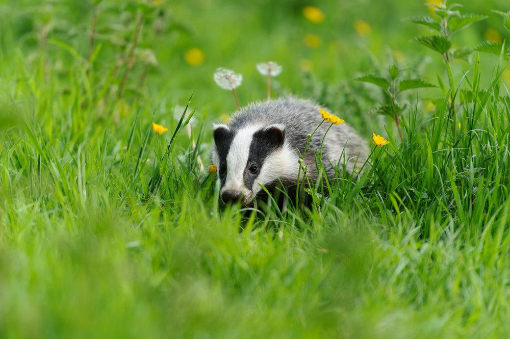 Badger Amongst the Dandelions