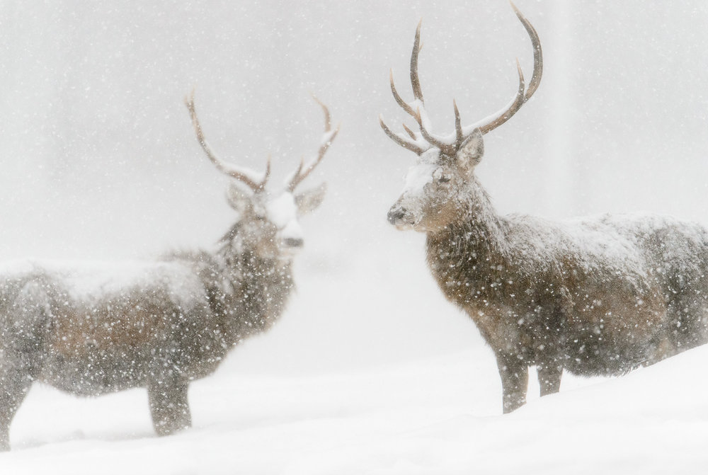 Stags in a Blizzard
