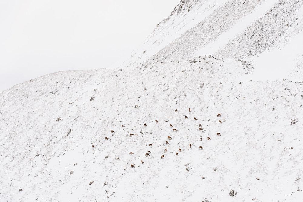 Red Deer on a Hillside