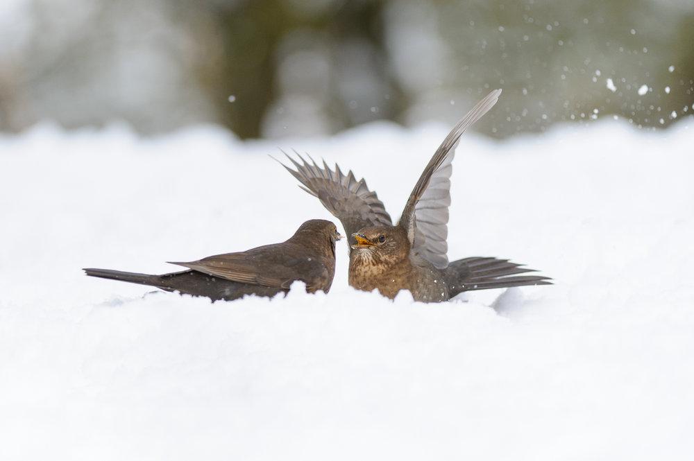 Fighting Female Blackbirds