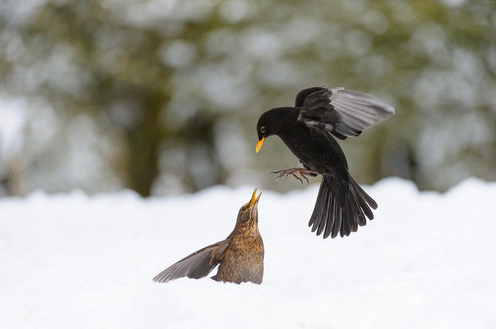 Fighting Blackbirds
