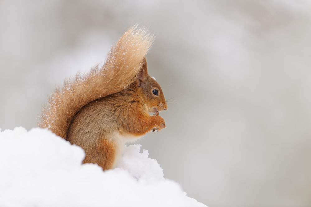 Snowy Red Squirrel