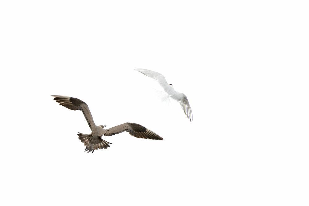 Arctic Skua and Arctic Tern