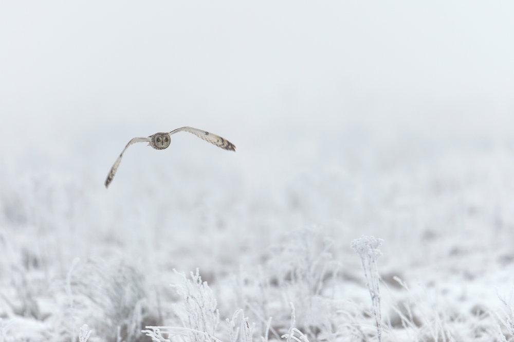 Shot-Eared Owl