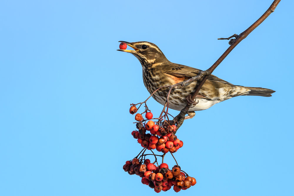 Redwing on Rowan
