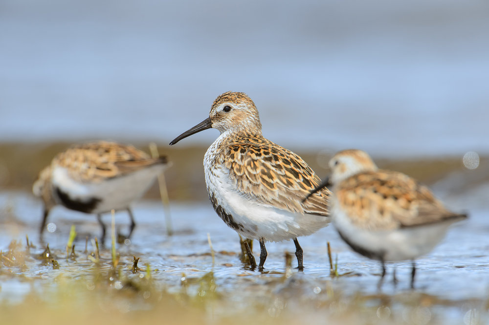 Three Dunlin