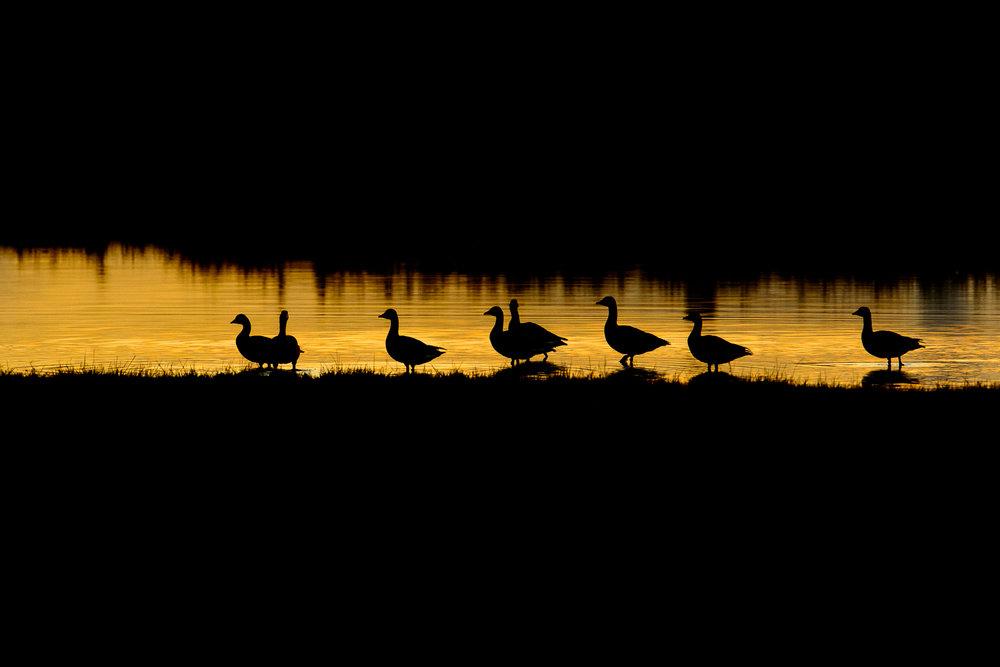 Roosting Geese