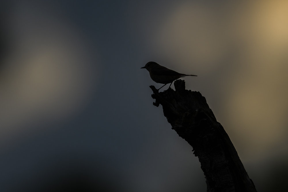 Redstart Silhouetted