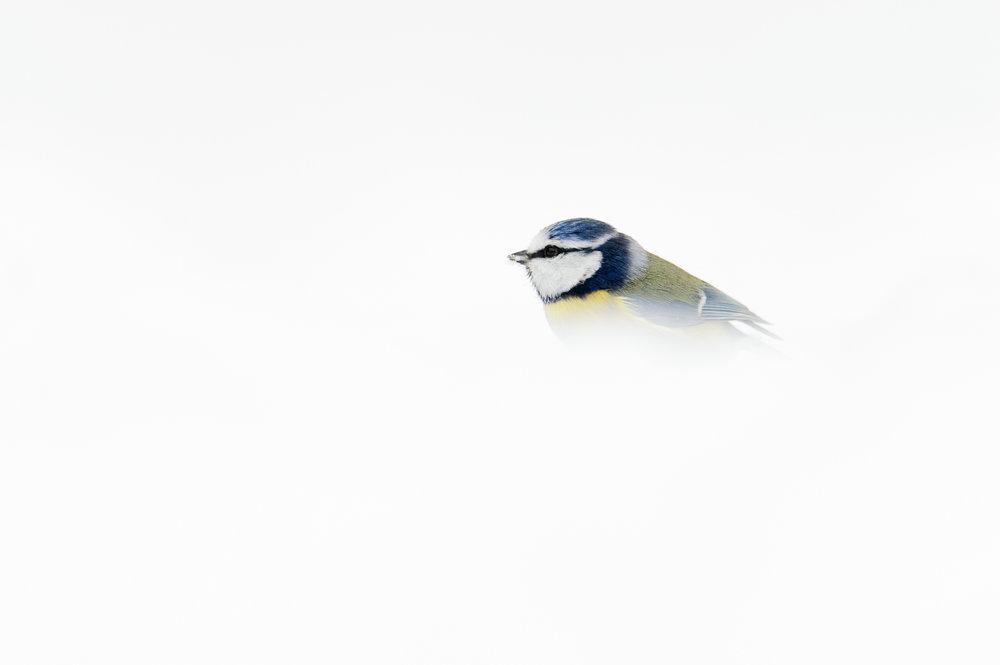 Snowy Blue Tit
