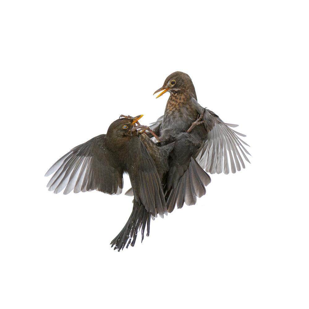 Blackbirds Fighting