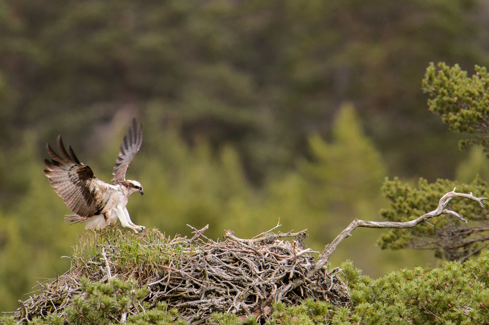 Osprey Landing on Nest