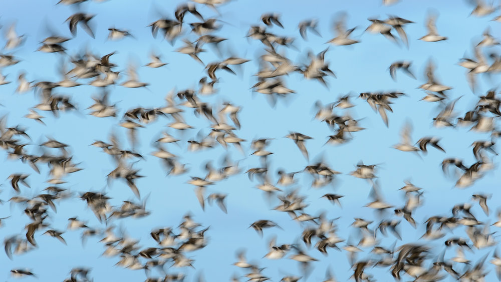 Waders in flight