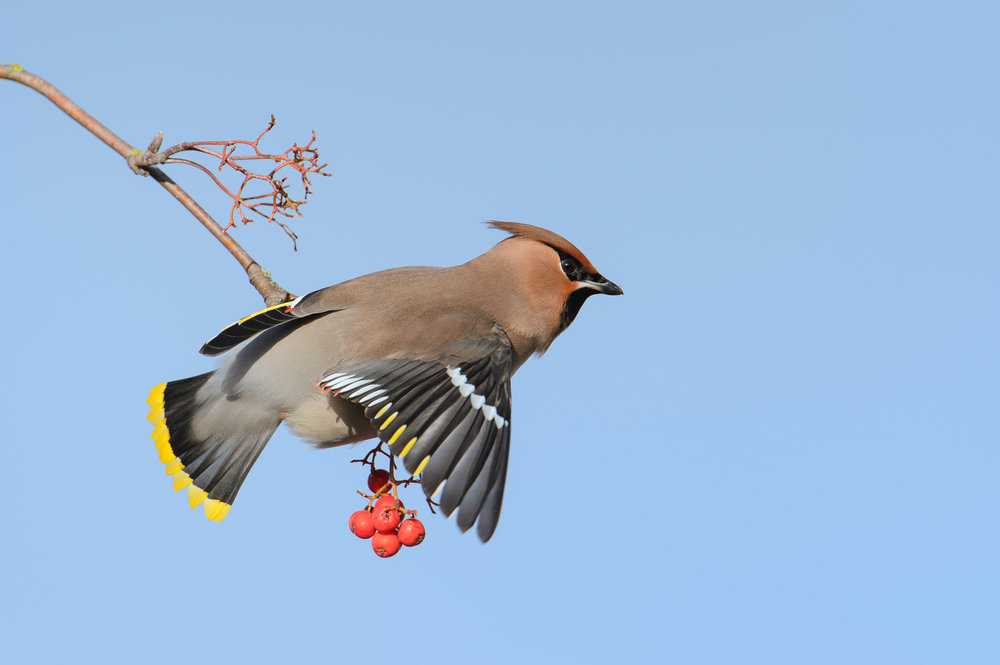 Winter Waxwing